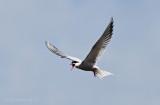 Common Tern calling