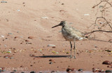 Willet along shoreline, where Brule River meets Lake Superior