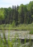 Marsh bird surveying habitat