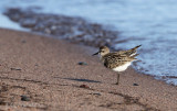 Semipalmated Sandpiper fluffing up after preening