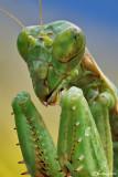 Mantis of Palearctic