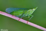 Dictyophara europaea