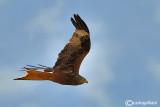 Nibbio reale-Red Kite (Milvus milvus)
