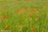 Poppies and cornflowers field