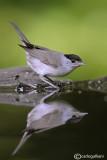 Capinera-Blackcap(Sylvia atricapilla)