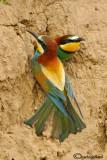 Gruccione - Bee eater - (Merops apiaster)