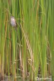 Forapaglie - Sedge Warbler ( Acrocephalus schoenobaenus )