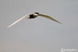 Mignattino piombato-Whiskered Tern (Chlidonias hybridus)