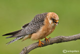Falco cuculo- Red-footed Falcon (Falco vespertinus)