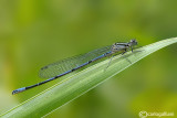 Coenagrion puella male