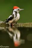 Picchio rosso mezzano - Middle Spotted Woodpecker (Dendrocopos medius)