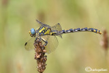 Onycogomphus uncatus female
