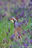 Pernice rossa-Red-legged Partridge  (Alectoris rufa)