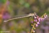 Sympema paedisca male
