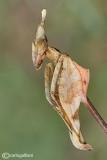 Gongylus gongylodes - India