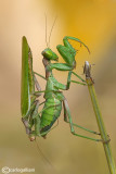 European Dwarf Mantis - Ameles spallanzania  - Pre Mating