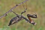 Deroplatys desiccata - SudEst Asia