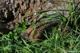 Riccio-European Hedgehog (Erinaceus europaeus )