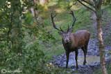 Cervo-Red deer (Cervus elaphus)