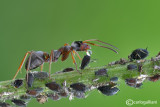 Milking of aphids - Formica cunicularia