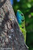Ramarro occidentale- Western Green Lizard (Lacerta bilineata)