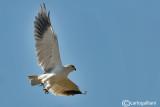 Nibbio bianco-Black-winged Kite (Elanus caeruleus)