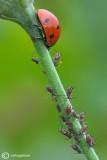 Coccinella septempunctata & Aphids