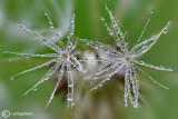 Dandelion & drops