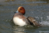 Fischione- Wigeon (Anas penelope)