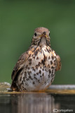 Tordo bottaccio - Song Thrush (Turdus philomelos )