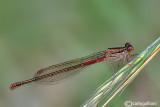 Ceriagrion tenellum female