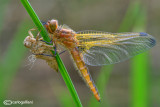 Birth of a dragonfly : Libellula fulva