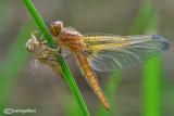 Birth of a dragonfly : Libellula fulva