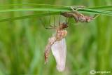 Birth of a dragonfly : Cordulia aenea