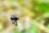 Psichydae sp.