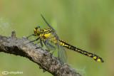 Gomphus vulgatissimus female
