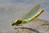 Birth of a dragonfly  : Onycogomphus uncatus