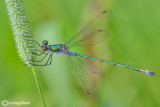 Lestidae - Platycnemididae