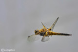 Libellula quadrimaculata male