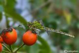 Ophiogomphus cecilia female
