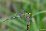 Ophiogomphus cecilia male