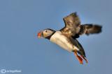 Pulcinella di mare-Atlantic Puffin (Fratercula arctica)