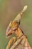 Gongylus gongylodes