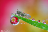 Cicadellidae and refraction drops