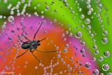 Spiderweb and  Drops