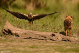 Marsh Harrier & Golden jackal