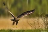 Aquila di mare - White-tailed Eagle - (Haliaeetus albicilla )
