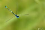 Coenagrion pulchellum male
