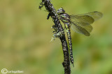 Aeshna subarctica female