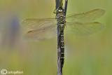 Aeshna juncea female